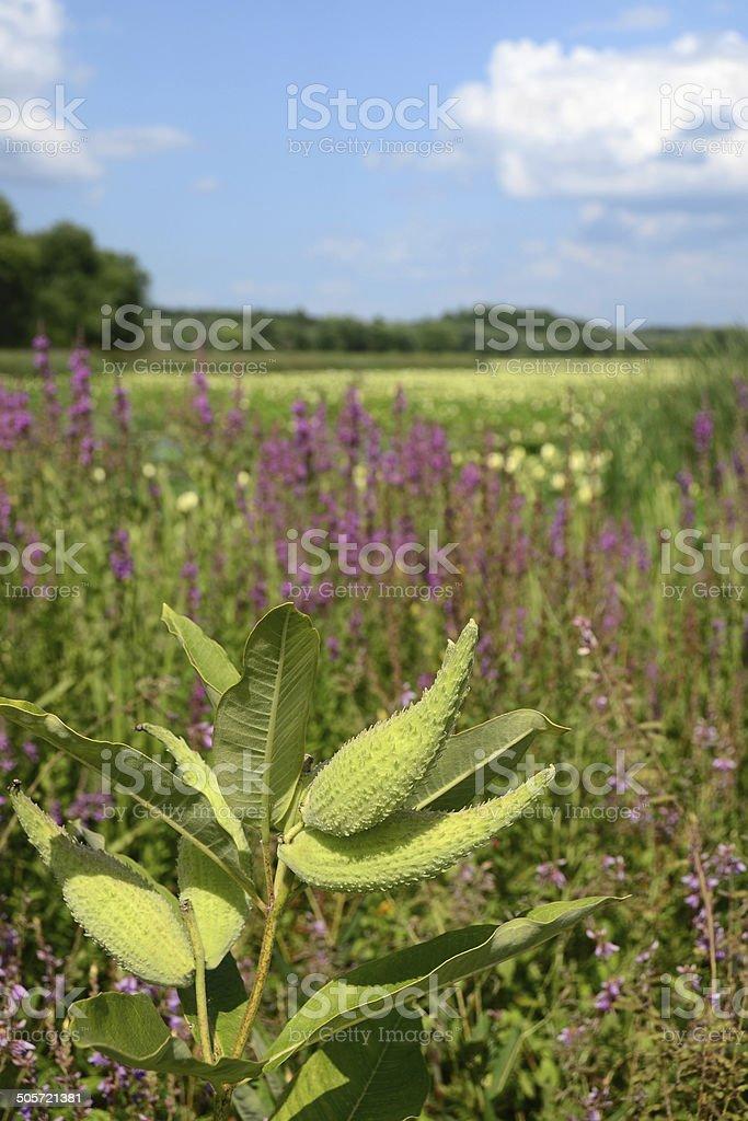 Milkweed Plant royalty-free stock photo