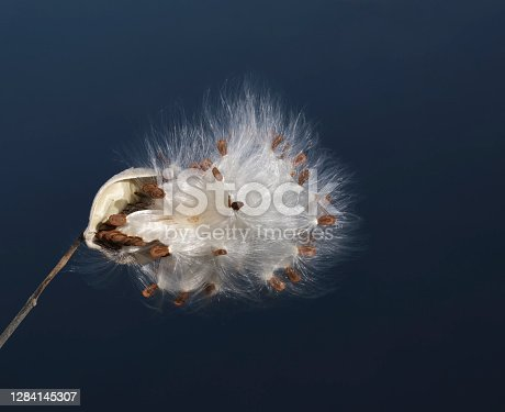 Along the shore of the Otonabee river, a milkweed pod is fully open exposing the brown seeds and silky white fibres.