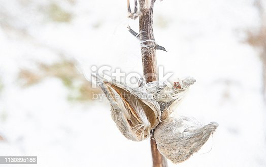Close up view of Milkweed pods with seeds and fluff blowing in the winter wind against a snow white background.