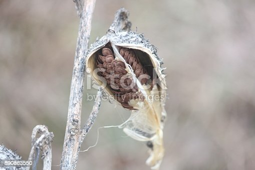Dried out, burst open graying milkweed pods, with some silky seeds still attached, on a very cold day in the cold winter season.