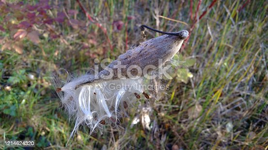 Milkweed seed bod bursting in the autumn.