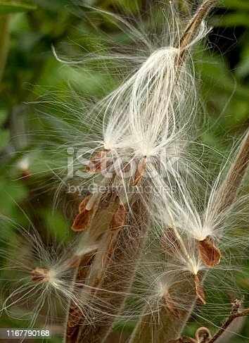 Butterfly Weed Seed Pods.  iPhone