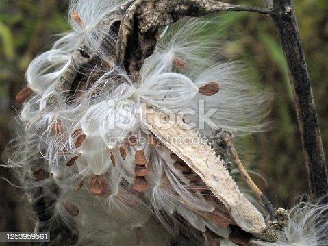 Closeup of bursting milkweed seed pods