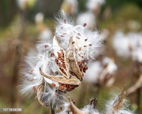 A milkweed plant, with multiple bursting seedpods and white filaments, flutter in the autumn wind.