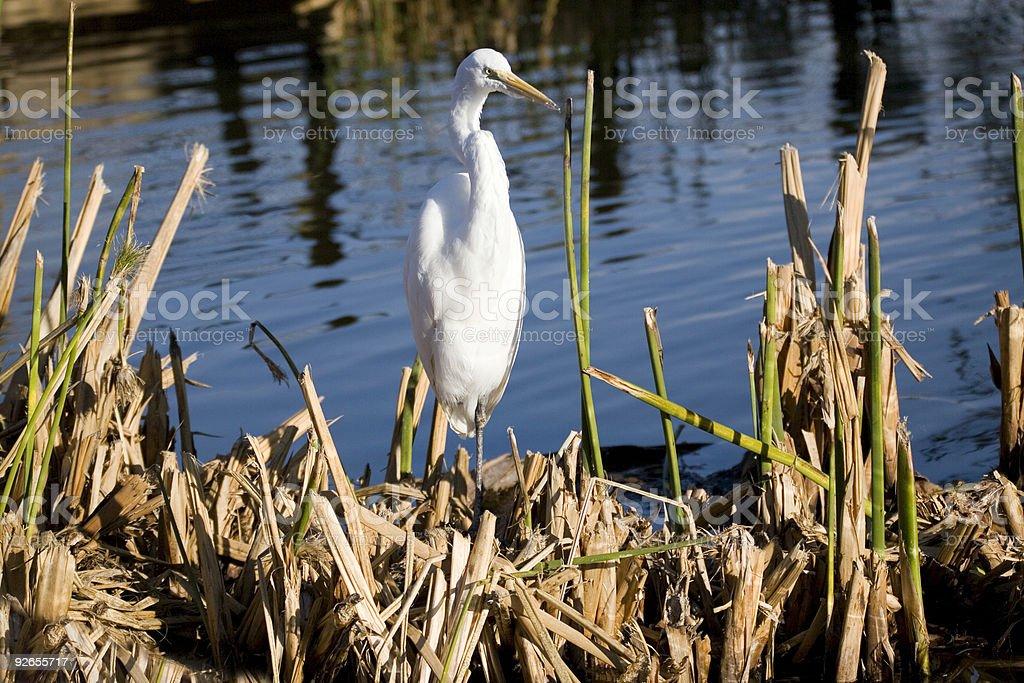 Milky Crane on Reeds royalty-free stock photo