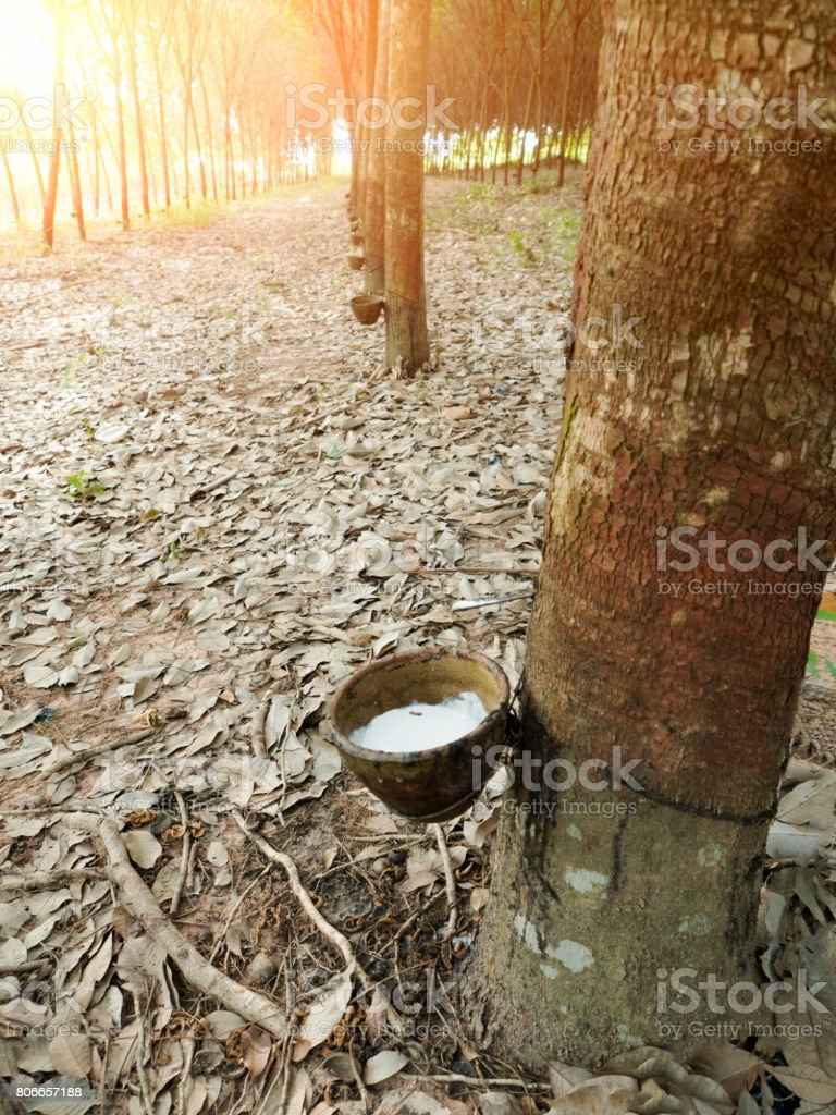 Milky latex extracted from natural rubber tree, Hevea Brasiliensis. stock photo