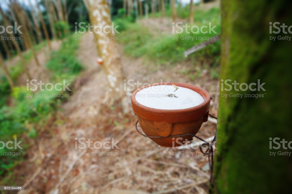 Milky latex extracted from tapped rubber tree in Thailand. stock photo