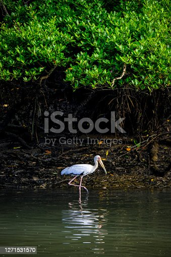 A milky stork foraging among the coastal mangroves of Sungei Buloh Wetland Reserve in Northwest Singapore.