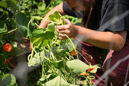 Millennial man harvesting nasturtium in permaculture garden.
