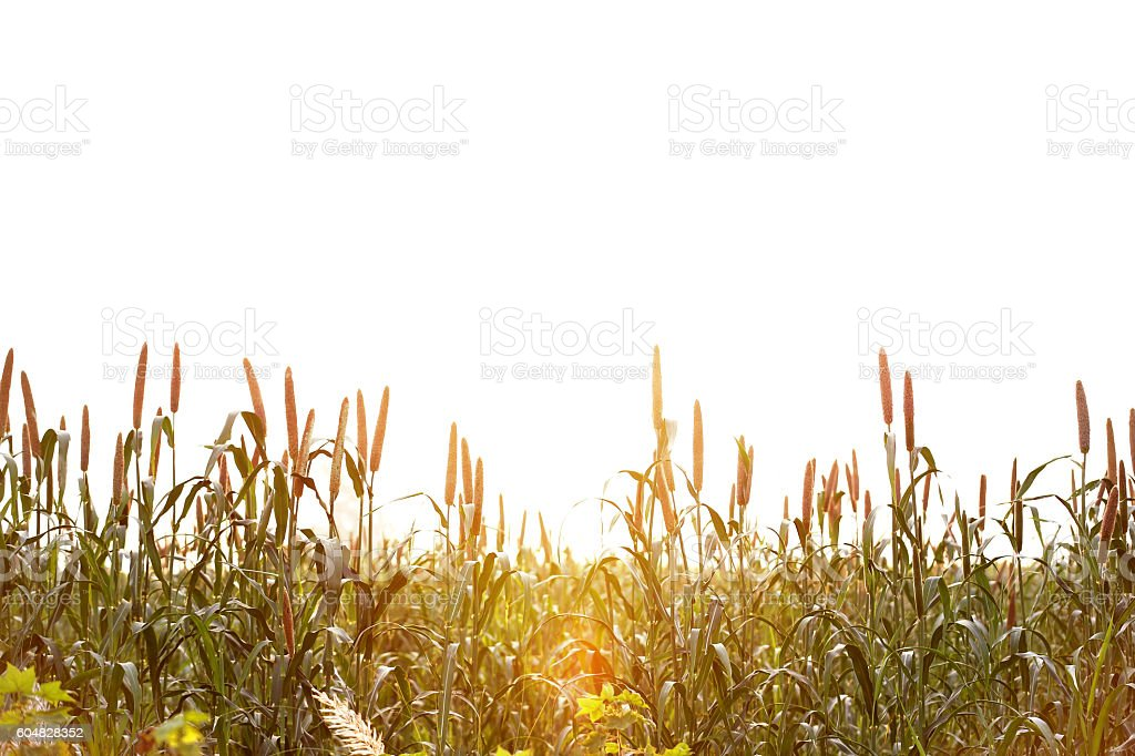 Millet Crop During Early Morning stock photo