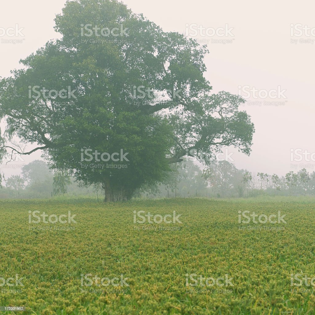 Millet field royalty-free stock photo