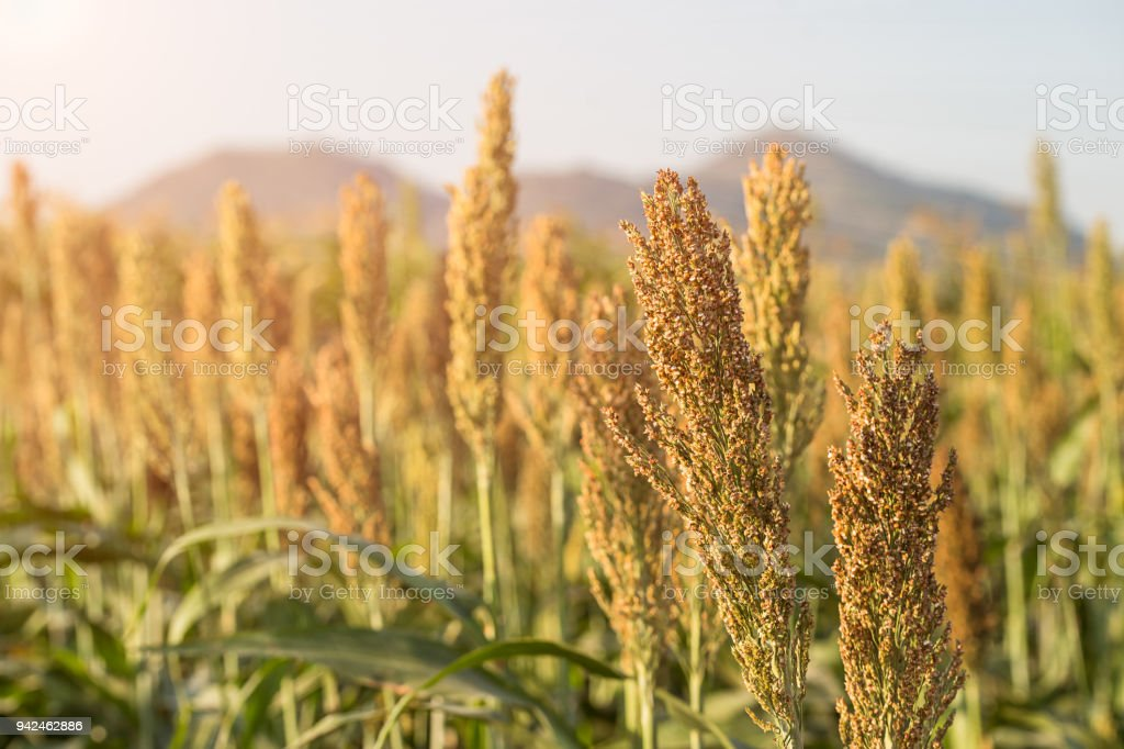 Millet or Sorghum in field of feed for livestock stock photo