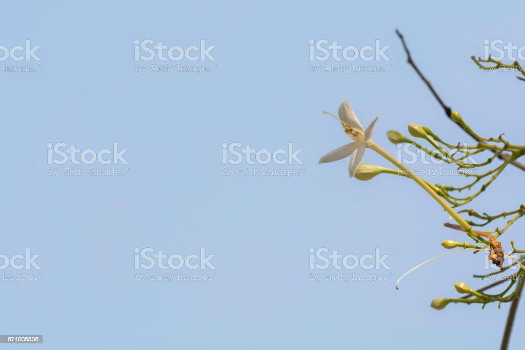 Millingtonia hortensis on sky background. royalty-free stock photo