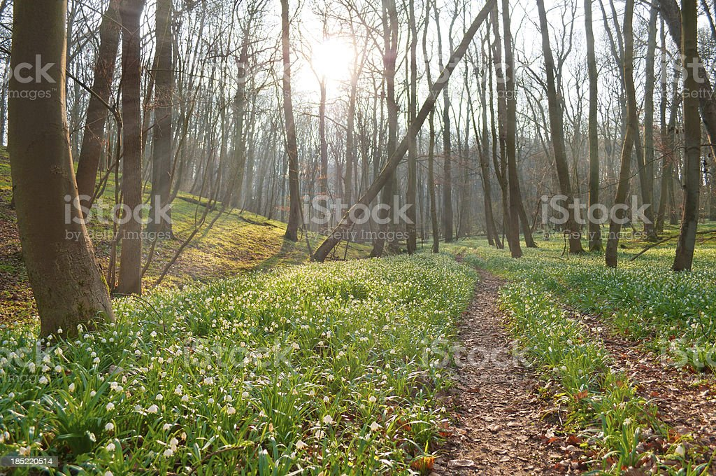 Millions of spring snowflakes in a forest royalty-free stock photo