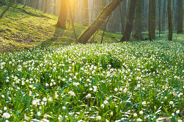 millions of spring snowflakes in a forest - snowdrops stock photos and pictures