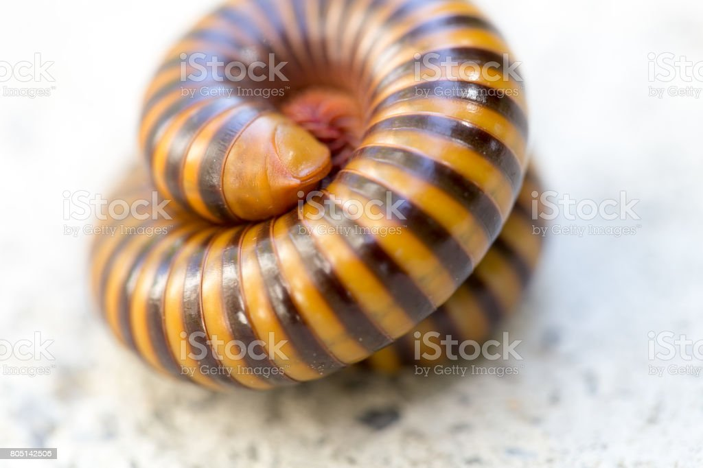 Millipede for education in Lab. stock photo
