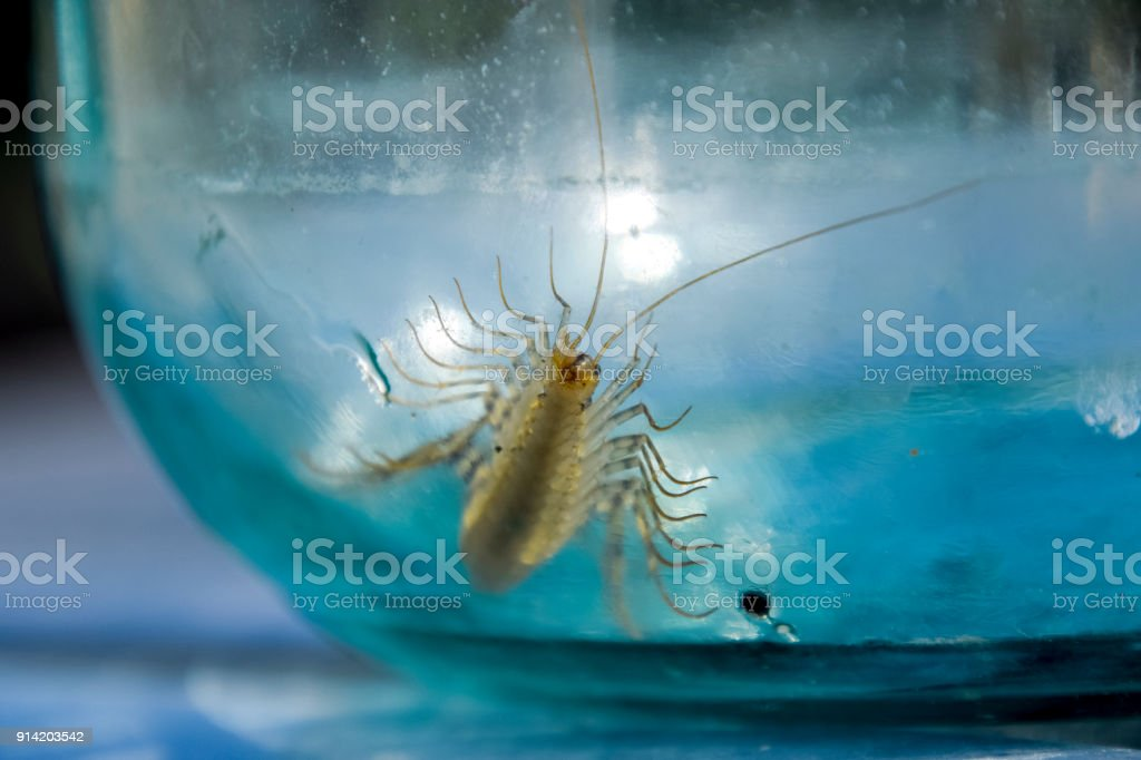 Millipede in the bank. The Flycatcher. Centipede flycatcher, insect predator stock photo