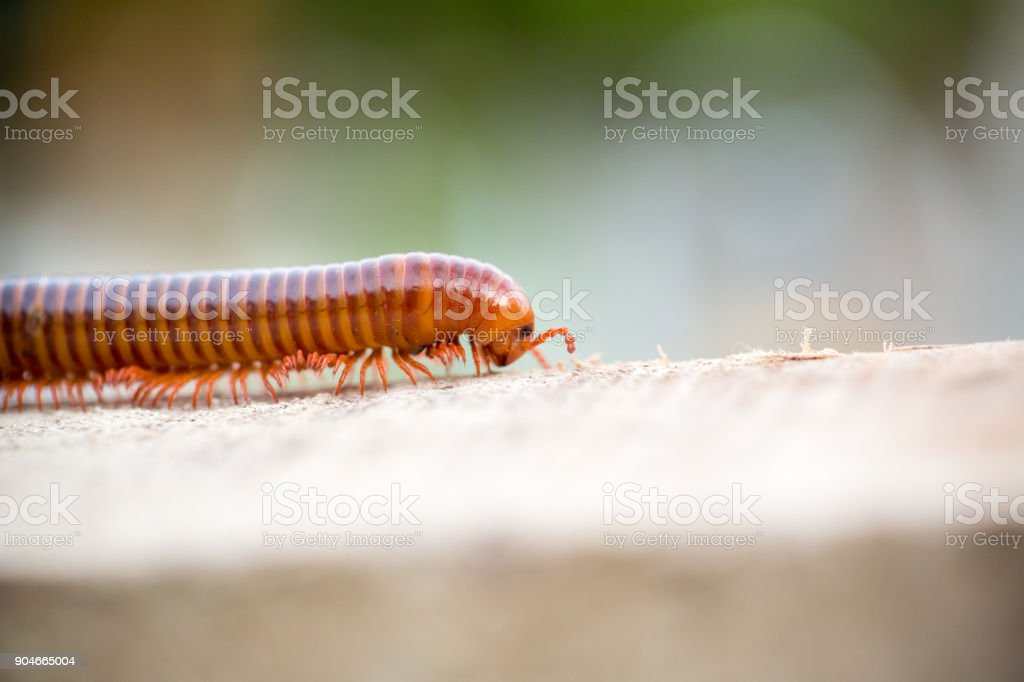 Millipede is moving on wood. stock photo