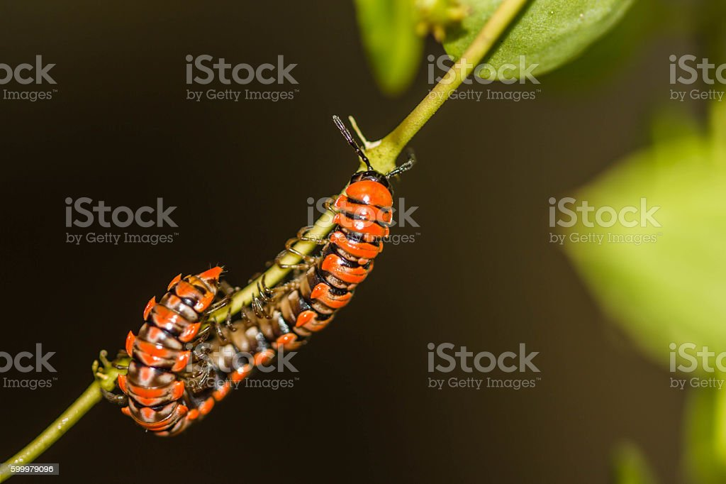 Millipede on green branch stock photo
