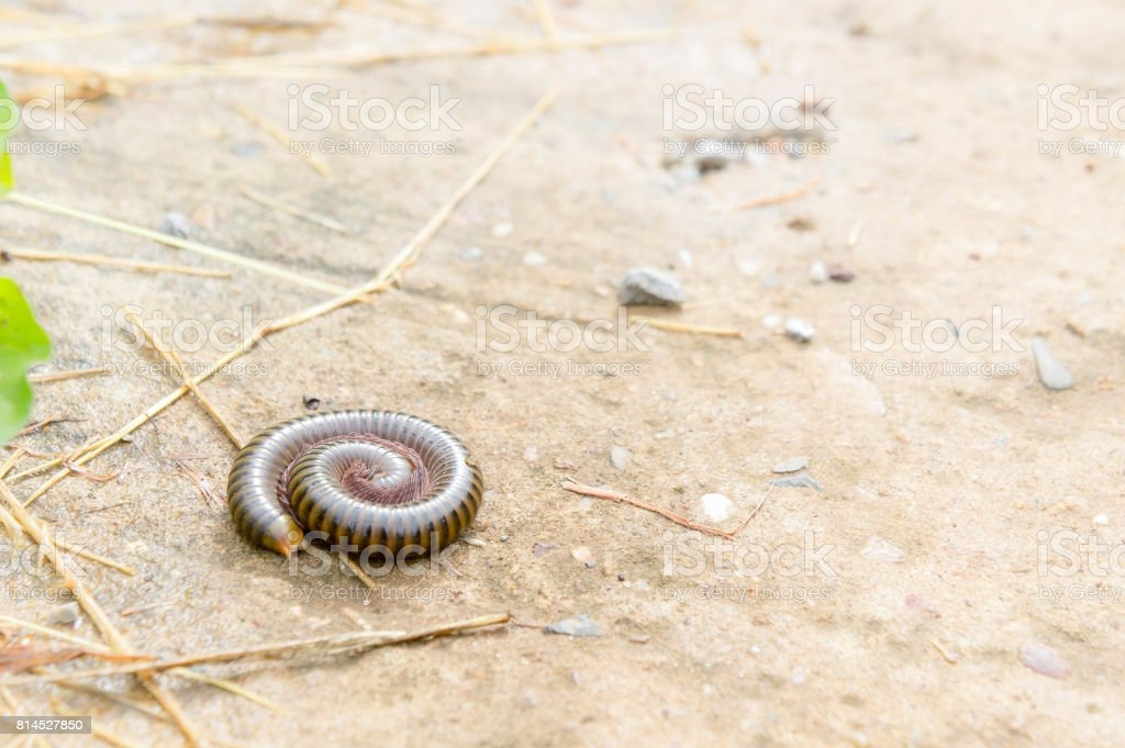 millipede on the floor of the house in the rain.Will see much during the rainy season. Be careful because it is a poisonous animal. stock photo