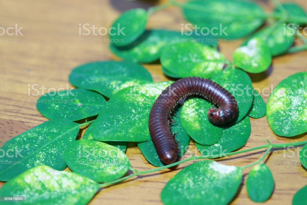 Millipede with green leaves on the wooden floor. stock photo