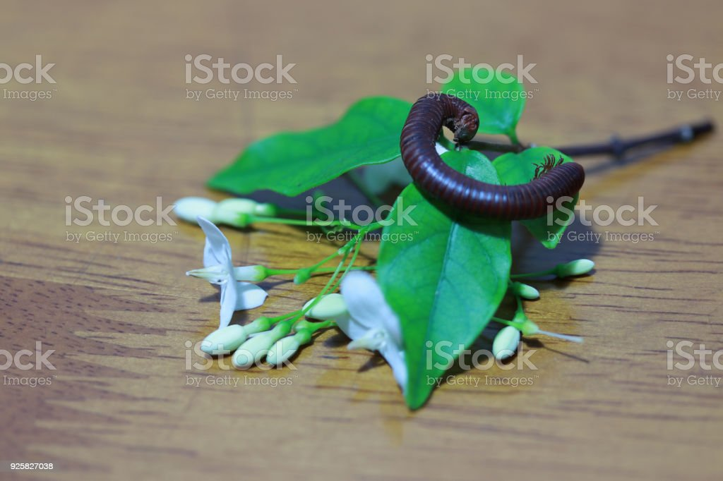 Millipede with the leaves and white flower of wrightia religiosa on the wooden floor. stock photo