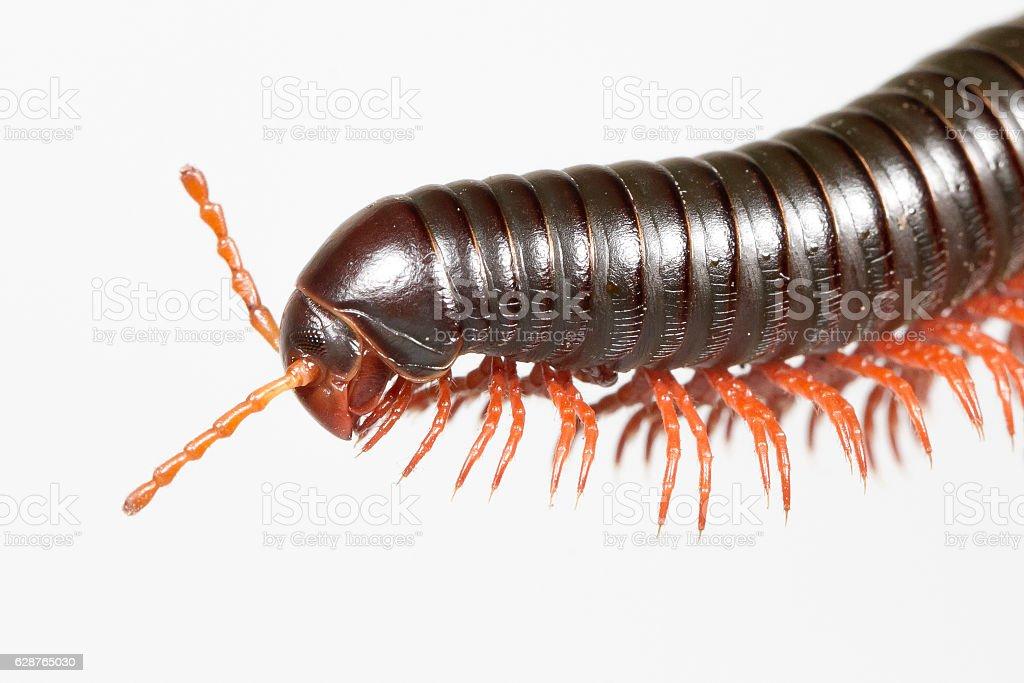 Millipedes stock photo
