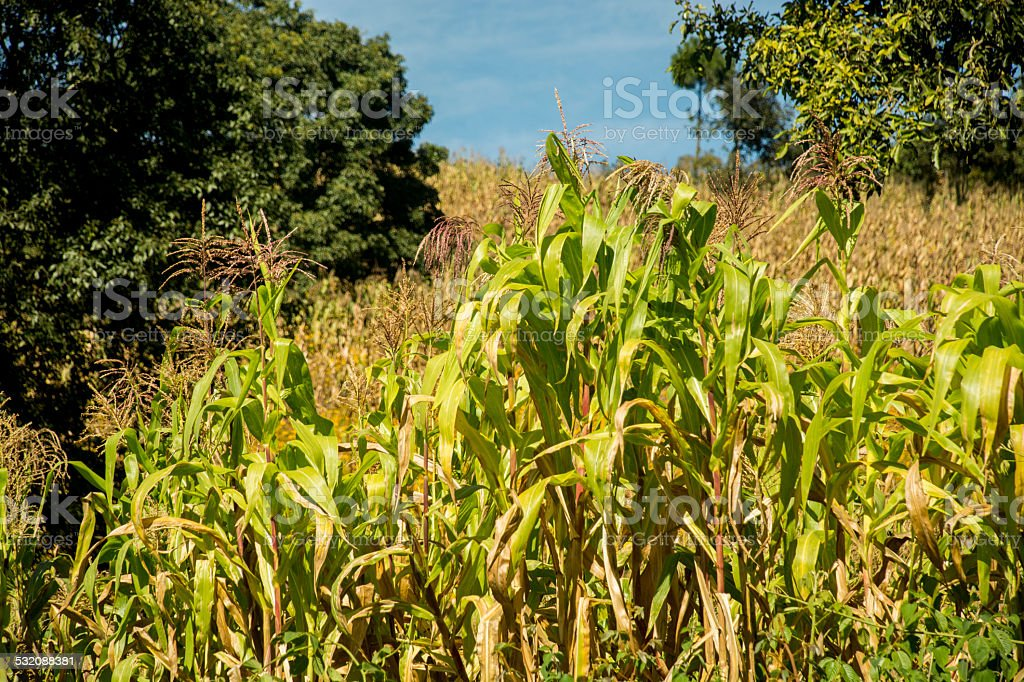 Milpa Corn in Central America stock photo