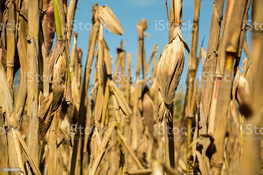 Milpa of a small farmer stock photo