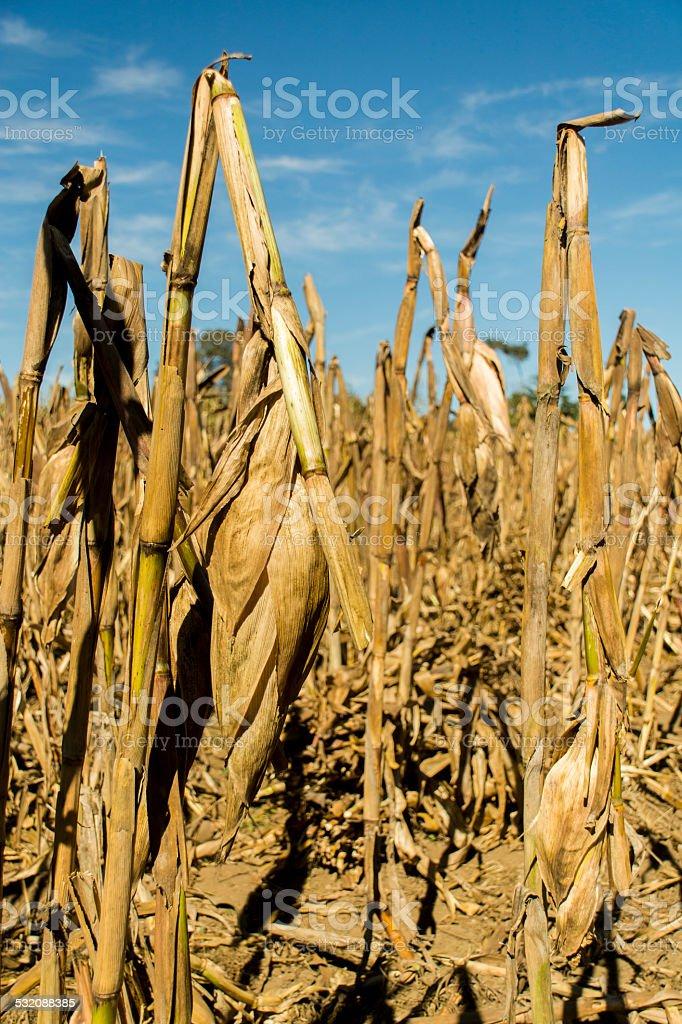 Milpa waiting Corn harvest stock photo