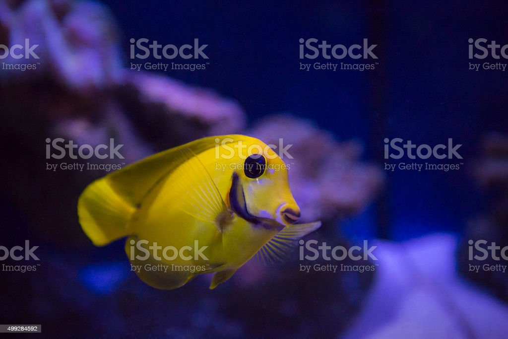 Mimic lemonpeel tang fish stock photo
