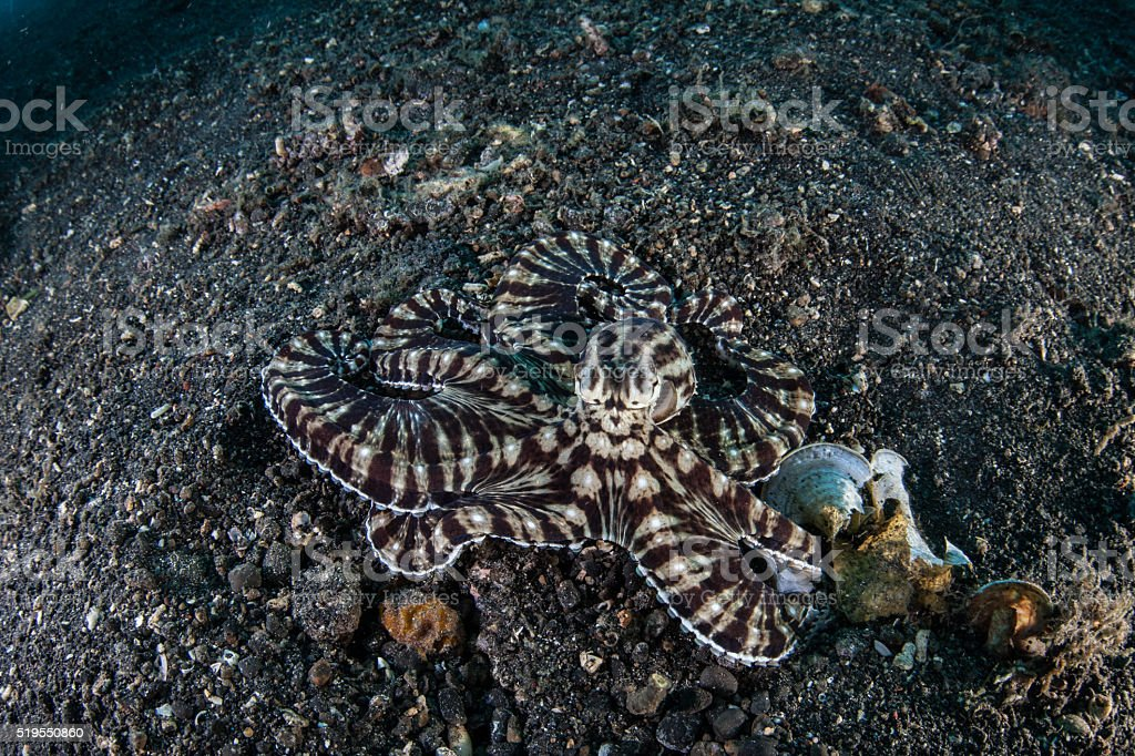 Mimic Octopus in Lembeh Strait stock photo