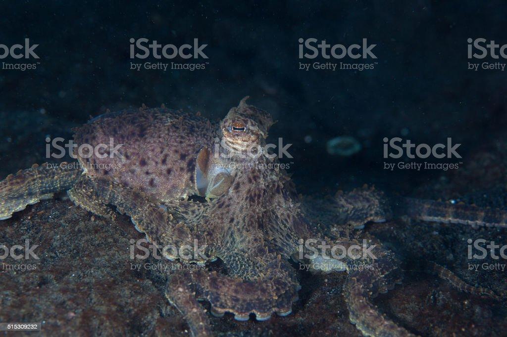 Mimic Octopus on Seafloor stock photo