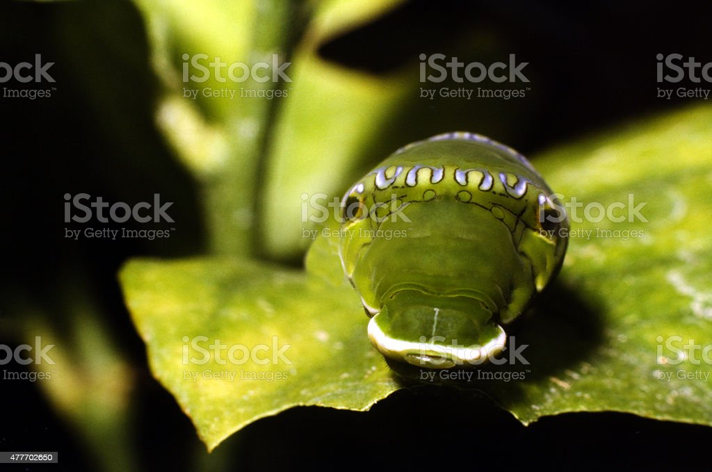 Mimicry, shown by a snake looking caterpillar .Papilio Helenus. stock photo
