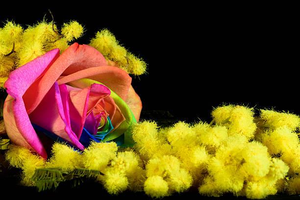 mimosa e rosa multicolore - immagini mimosa 8 marzo foto e immagini stock