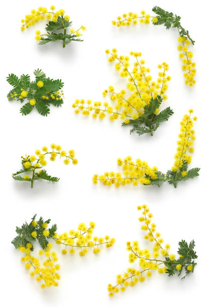 mimosa assortments for festa della donna - della stock pictures, royalty-free photos & images