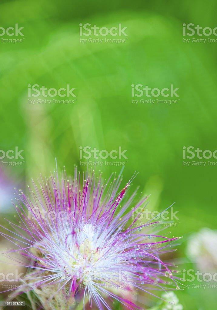 Mimosa Blossom Lower Left stock photo