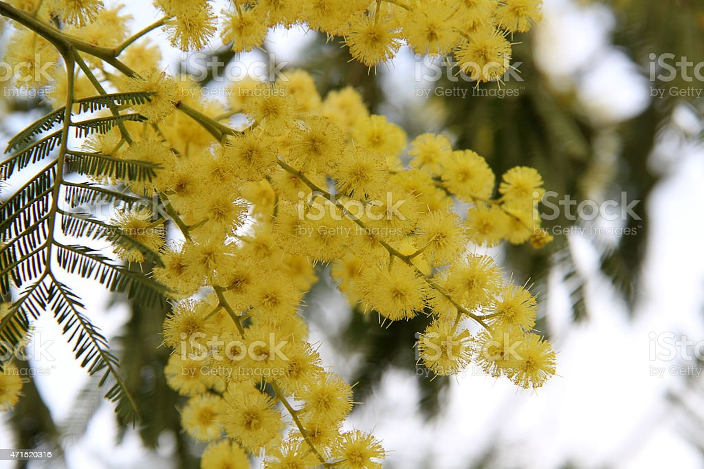 rama de mimosa con hojas stock photo