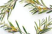 Natural Yellow and Golden Flowering Wattle flowers Vector