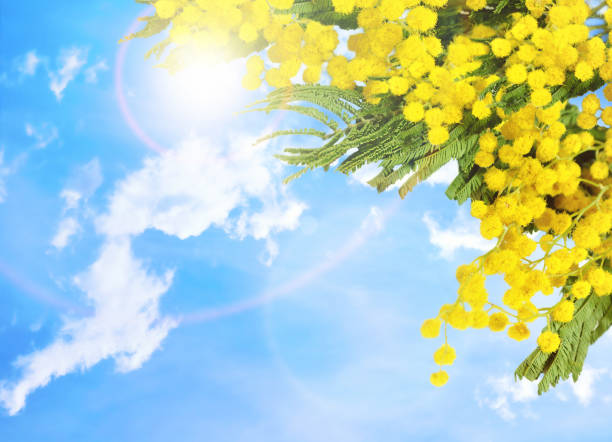 mimosa flowers against blue sky. spring flower background - immagini mimosa 8 marzo foto e immagini stock