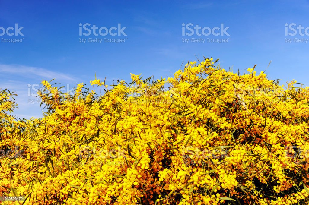 Mimosa flowers blooming in springtime stock photo