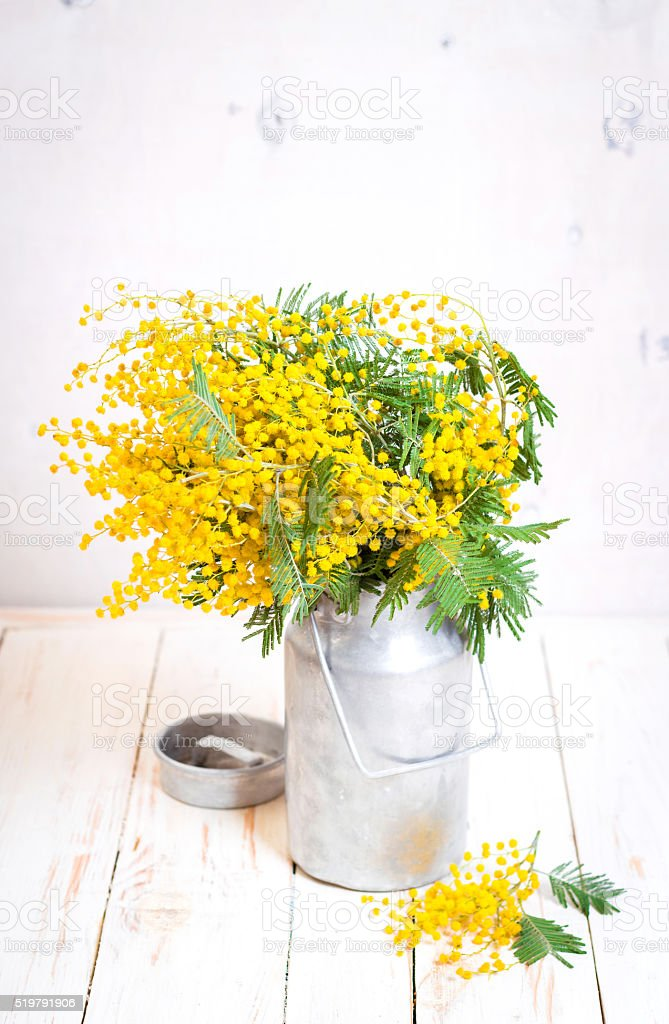 Mimosa flowers in a vintage metal milk can stock photo