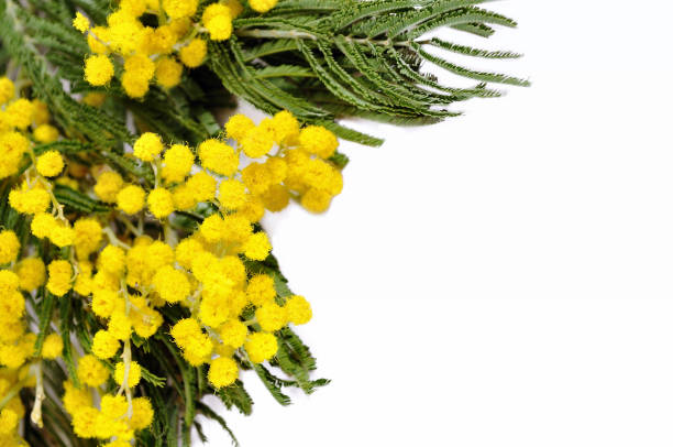 mimosa flowers isolated on white background - immagini mimosa 8 marzo foto e immagini stock