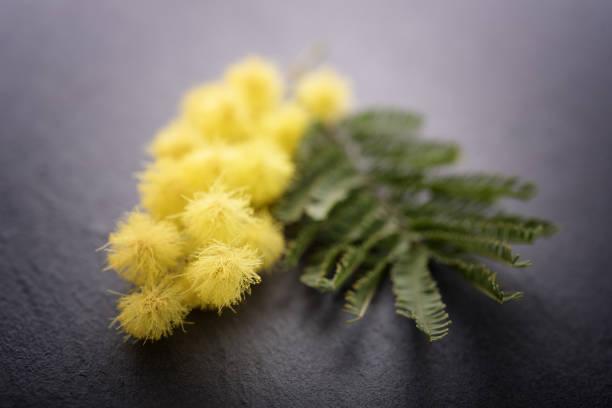 fiori di mimosa su sfondo nero - immagini mimosa 8 marzo foto e immagini stock