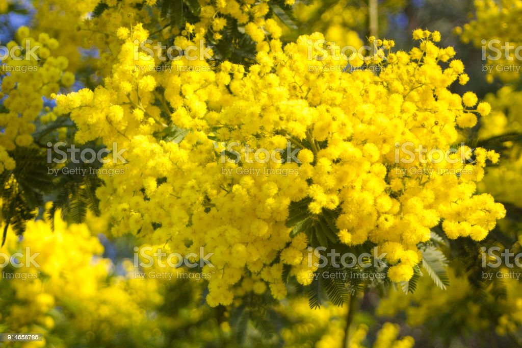 Mimosa flowers on blue sky stock photo
