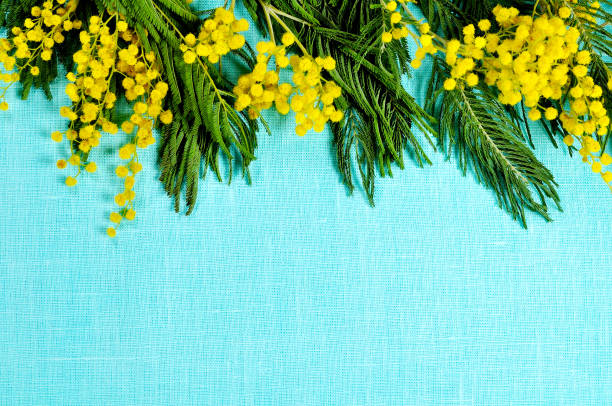 mimosa flowers on the turquoise linen surface. spring background - immagini mimosa 8 marzo foto e immagini stock
