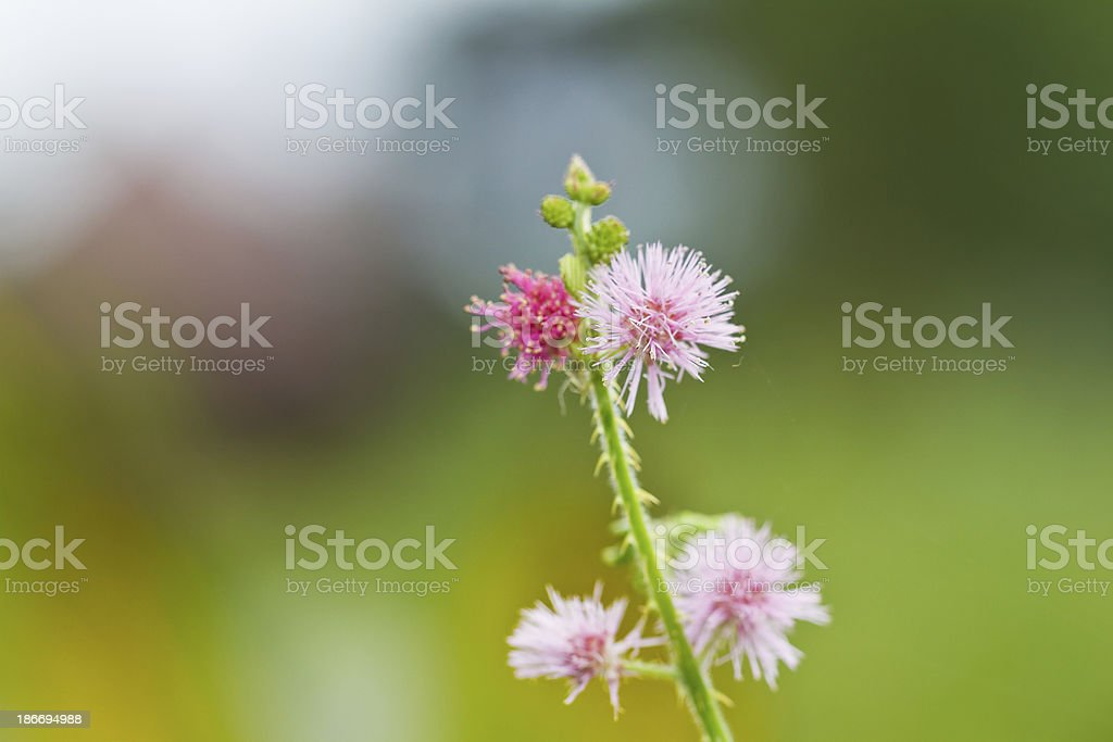 Mimosa flowers. royalty-free stock photo