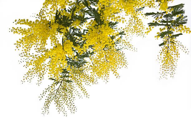 Mimosen in bianco – Foto