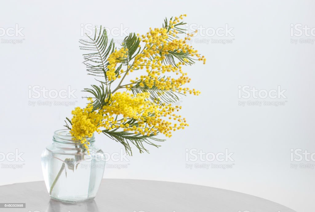 Mimosa in jar on table stock photo