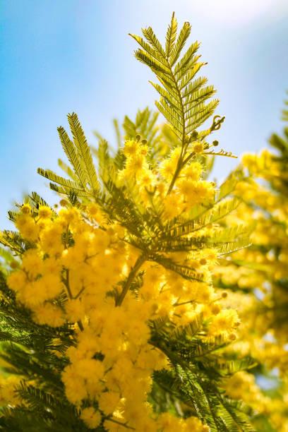 mimosa, international women's day - immagini mimosa 8 marzo foto e immagini stock